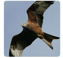 red-kite-protected-bird