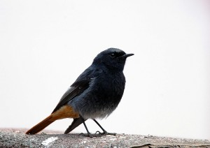 Black Redstart male - Schedule 1 protected bird