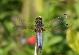 Chaser dragonfly