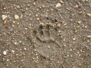Badger paw print